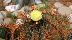 Kaktusa zbliżenie Zdjęcie Stock