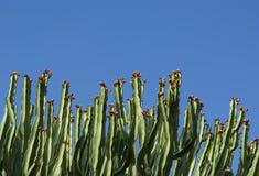 Kaktusa zbliżenie w naturalnych warunkach Obraz Stock