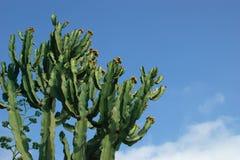 Kaktusa zbliżenie w naturalnych warunkach Fotografia Stock
