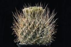 Kaktusancistrocactusscheeri med blomman som isoleras på svart Royaltyfria Bilder
