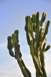 Kaktusanlage Stockfotos