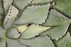 Kaktusanlage mit scharfen Rändern Stockfotografie