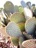 Kaktusarmar för taggigt päron i solljus Arkivfoton