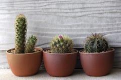 Kaktusbäume im roten Topf Stockfotografie