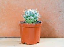 Kaktusbakgrund och dekorerat Arkivfoton