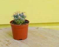Kaktusbakgrund och dekorerat Royaltyfri Bild