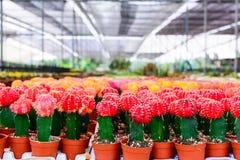 Kaktusbaumshop mit Züchtung im Haus zu verkaufen Stockbilder