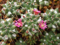 Kaktusblüte Lizenzfreies Stockbild