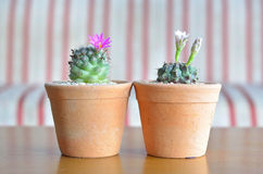 Kaktusblüte Stockbild