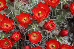 Kaktusblüte Lizenzfreies Stockfoto