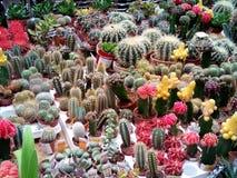 Kaktusblüte am Blumenladen, Moskau Lizenzfreie Stockfotos