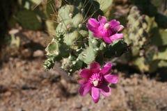 Kaktusblüten lizenzfreies stockbild