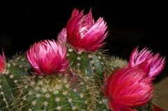 Kaktusblüten Lizenzfreie Stockfotografie