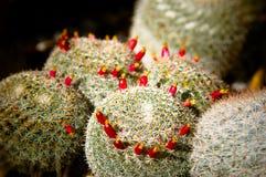 Kaktusblüten Stockfoto
