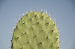 Kaktusblatt Lizenzfreie Stockfotos