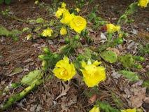 Kaktusblom Fotografering för Bildbyråer