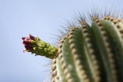 kaktusblomma Arkivbild