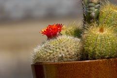 kaktusblomma arkivfoton