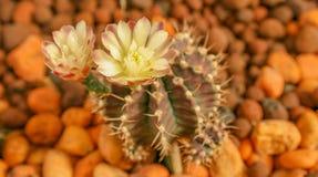 Kaktusblomma Royaltyfria Bilder