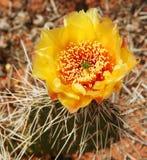 kaktusblomma Arkivbilder