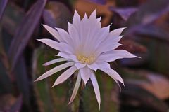 Kaktusblomma i öknen royaltyfri bild