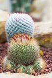 Kaktusblomma i botanisk trädgård Arkivfoto
