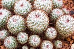 Kaktusblomma i botanisk trädgård Royaltyfria Foton