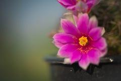 Kaktusblomma, Mammillaria Fotografering för Bildbyråer