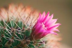 Kaktusblommabloominfg Arkivfoto