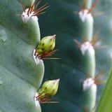 Kaktusblommaknoppar Arkivbild