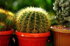 Kaktusblomman är alltid en favorit- dekorativ växt arkivfoto