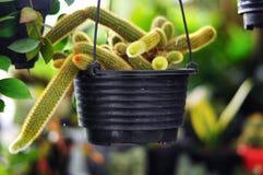 Kaktusblomman är alltid en favorit- dekorativ växt royaltyfri foto