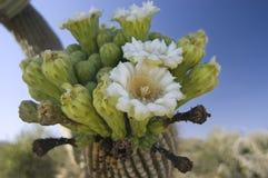 kaktusblommasaguaro royaltyfria bilder