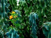 kaktusblommataggar Royaltyfri Foto
