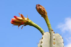 kaktusblommor Royaltyfri Foto