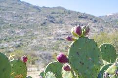 Kaktusblommor Arkivfoton