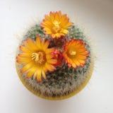 Kaktusblommor Arkivbilder