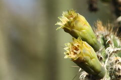 kaktusblommor royen s-treen Arkivbilder
