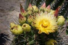 Kaktusblommorna royaltyfri fotografi