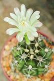 Kaktusblomning Fotografering för Bildbyråer