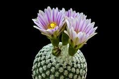 Kaktusblomning Arkivbilder