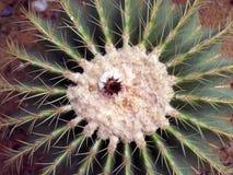 Kaktusblomning Arkivfoto
