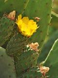 Kaktusblomning och bi Royaltyfri Bild