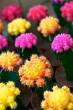 Kaktusblume Lizenzfreie Stockfotos