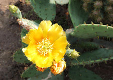Kaktusblume lizenzfreies stockbild