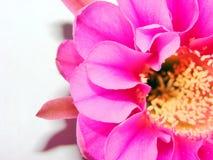 Kaktusblume Stockbild
