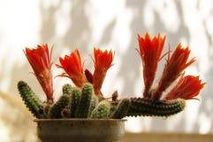 Kaktusblume Stockfotografie