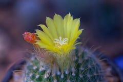 Kaktusblume Stockbilder