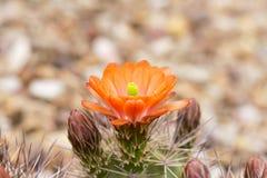 Kaktusblume und -knospen Lizenzfreie Stockfotos