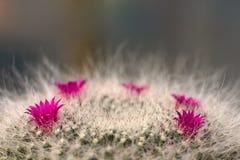 Kaktusblumen Stockfoto